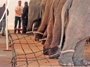 nakami-chained elephant